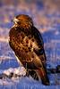 Red-tailed Hawk, Colorado