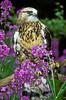 Rough-legged Hawk, Rocky Mountain Raptor Center, Fort Collins, Colorado