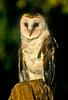 Barn Owl, Rocky Mountain Raptor Center, Fort Collins, Colorado