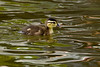 Wood Duck chick, Sterne Park, Littleton, Colorado.  May 2017