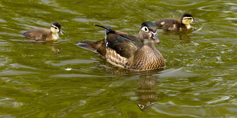 Wood Duck hen with chicks, Sterne Park, Littleton, Colorado.  May 2017