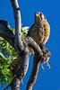 Kestrel with bird, Boise, Idaho.  May 2017