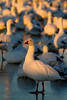 Snowgeese at dawn, Bosque del Apache, New Mexico. December 2013