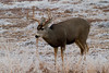 Mule Deer buck, Bosque del Apache, New Mexico. December 201