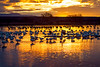 Snowgeese at sunrise, Bosque del Apache, New Mexico.  December 2012