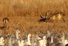 Coyotes with dead Sandhill Crane, Bosque del Apache, New Mexico, January 2010