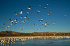 Snowgeese, Bosque del Apache, New Mexico. December 2013