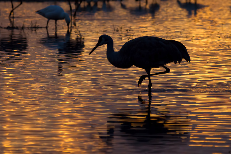 Sandhill Crane at sunrise, Bosque del Apache, New Mexico.  December 2012