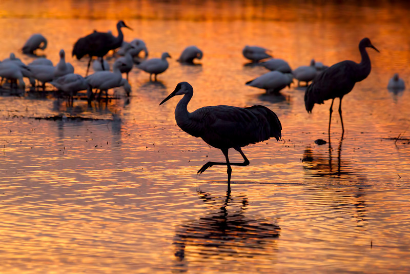 Snowgeese and Sandhill Cranes at sunrise, Bosque del Apache, New Mexico.  December 2012