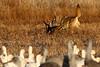 Coyote with dead Sandhill Crane, Bosque del Apache, New Mexico, January 2010