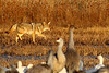 Coyote stocking Sandhill Cranes, Bosque del Apache, New Mexico, January 2010