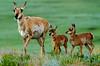 Pronghorn Antelope, Custer State Park, South Dakota. July 2011