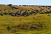 Bison Roundup, Custer State Park, South Dakota.  September 2011