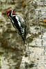Woodpecker, Grand Teton National Park, Wyoming.  May 2015