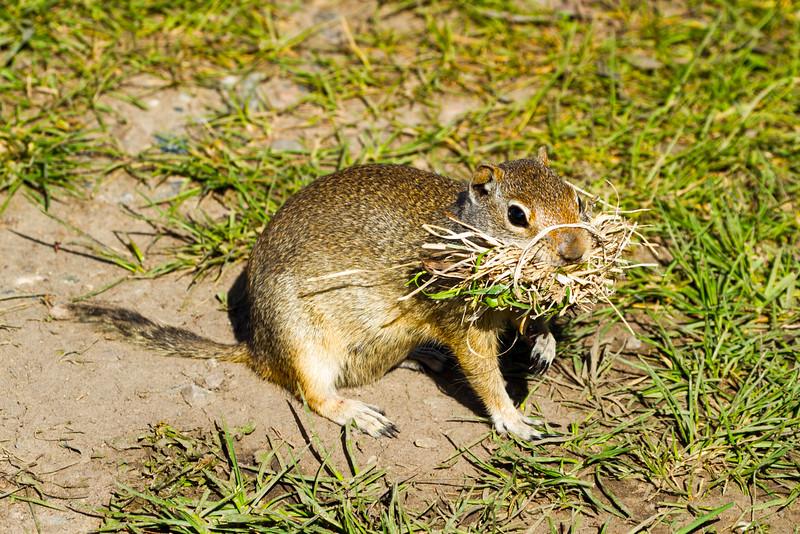 Wyoming Ground Squirrel, Grand Teton National Park, Wyoming.  May 2015