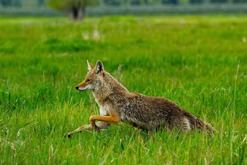Female Coyote, Grand Teton National Park, Wyoming.  May 2015