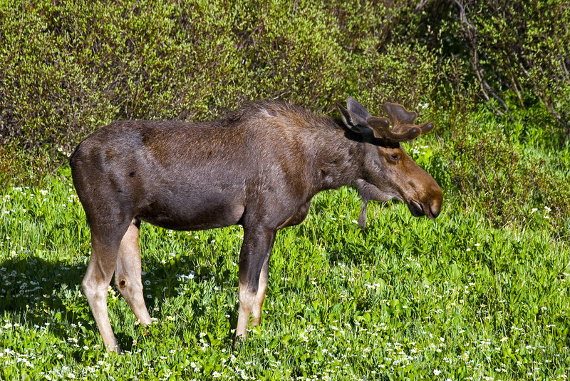 Moose, Medicine Bow-Routt National Forest, Wyoming.  June 2009