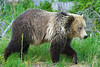 Grizzly Bear, Yellowstone National Park, Wyoming.  July 2007