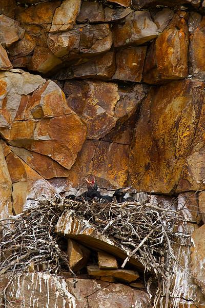Ravens, Yellowstone National Park, Wyoming.  May 2015