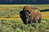 Bison, Yellowstone National Park, Wyoming.  July 2007