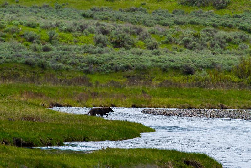 Wolf, Lamar Valley, Yellowstone National Park, Woyming.  May 2015