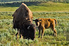 Bison with calf, Yellowstone National Park, Wyoming.  July 2007