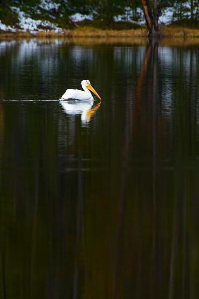 White Pelican, Sylvan Lake, Yellowstone National Park, Wyoming.  May 2015