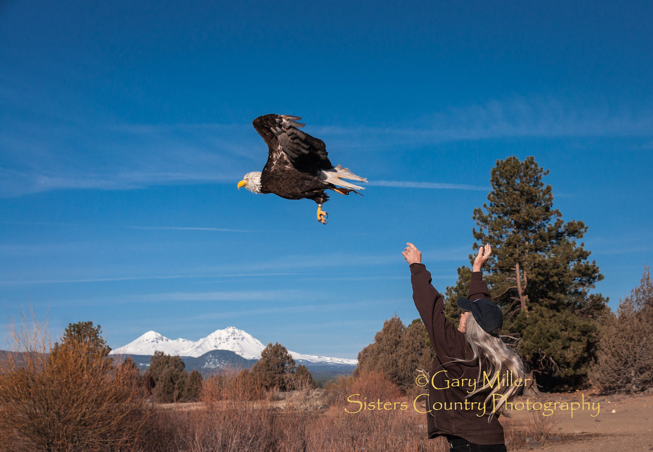 On March 9, 2012 outside of Sisters, Oregon Wild Wings Raptor Rehabilitation expert Gary Landers and veterinary doctor Little Lieblad released back to the wild a bald eagle whose life was saved and wing successfully repaired using cutting edge 'cold laser' surgery. The eagle had been severely injured by electrical shock from contact with high voltage power lines and it would not have normally been expected to survive with traditional treatment therapies. Photo by Gary N. Miller - Sisters Country Photography