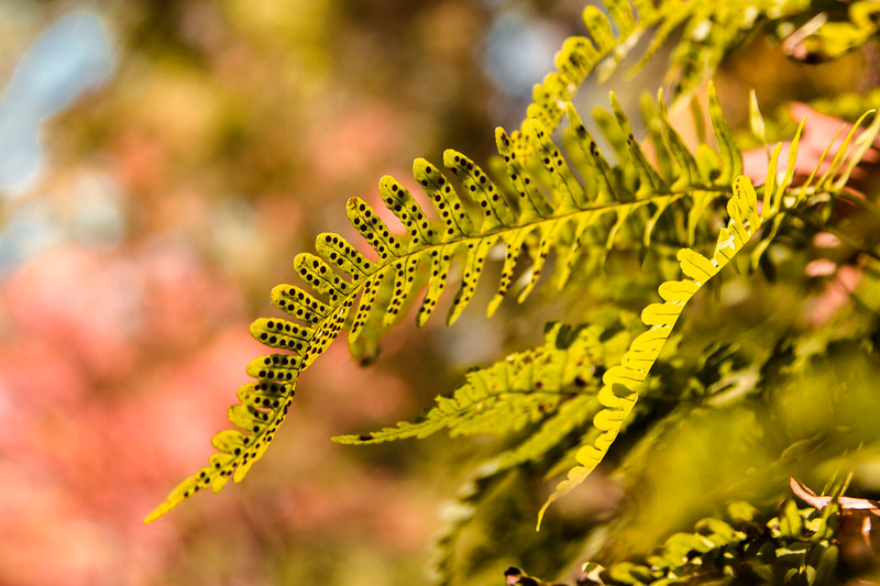 Speckled Fern