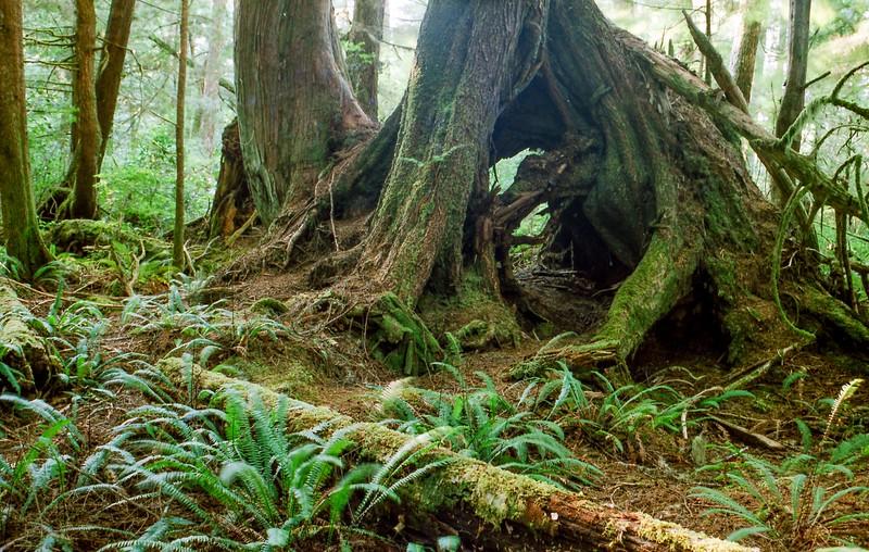 Douglas firs on Vancouver Island, British Columbia