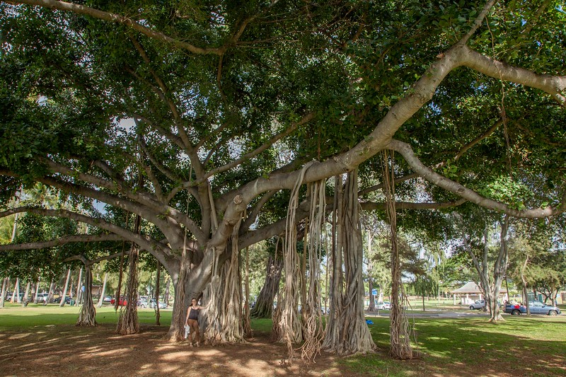 Indian banyan (Ficus benghalensis), Waikiki, Honolulu