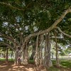 Indian banyan (Ficus benghalensis), Waikiki, Honolulu