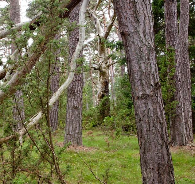 Scots pines on an island near Bussö, Åland archipelago, Finland.