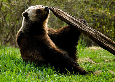 Grizzly bear sniffin`