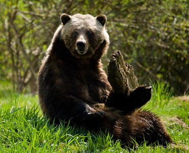Grizzly Bear looking
