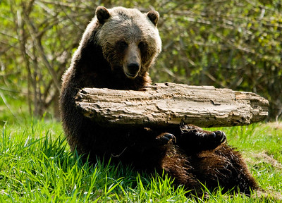 Grizzly Bear playing