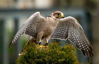 Falcon at Vancouver Game Farm
