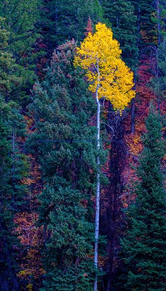 Aspen in the Evergreens Utah