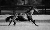 """Black & White : Horse Racing Photos and Equestrian Prints for sale from EquiSport Photos. ANY PRINT in the """"Scenic & Sales"""" can be ordered from this site as a PRINT, CANVAS, or LICENSED IMAGE, and shipped directly to you.  CLICK the """"Buy this photo"""" basket above the feature photo. Or CLICK..Contact Us"""