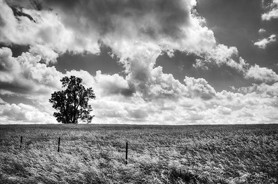 An old tree stands over a windy field, Iowa. Converted to black and white.