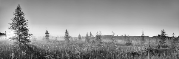 Bog at sunrise converted to black and white, Wisconsin.