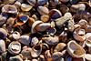<center>Seashells on the Seashore  <br><br>The shoreline was covered with these small shells.  <br><br>Bluff Point State Park<br>Groton, Connecticut</center>