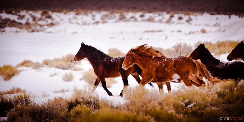 Wild Horses - Nevada