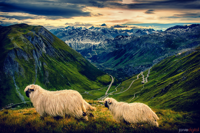 Sheep - Swiss Alps