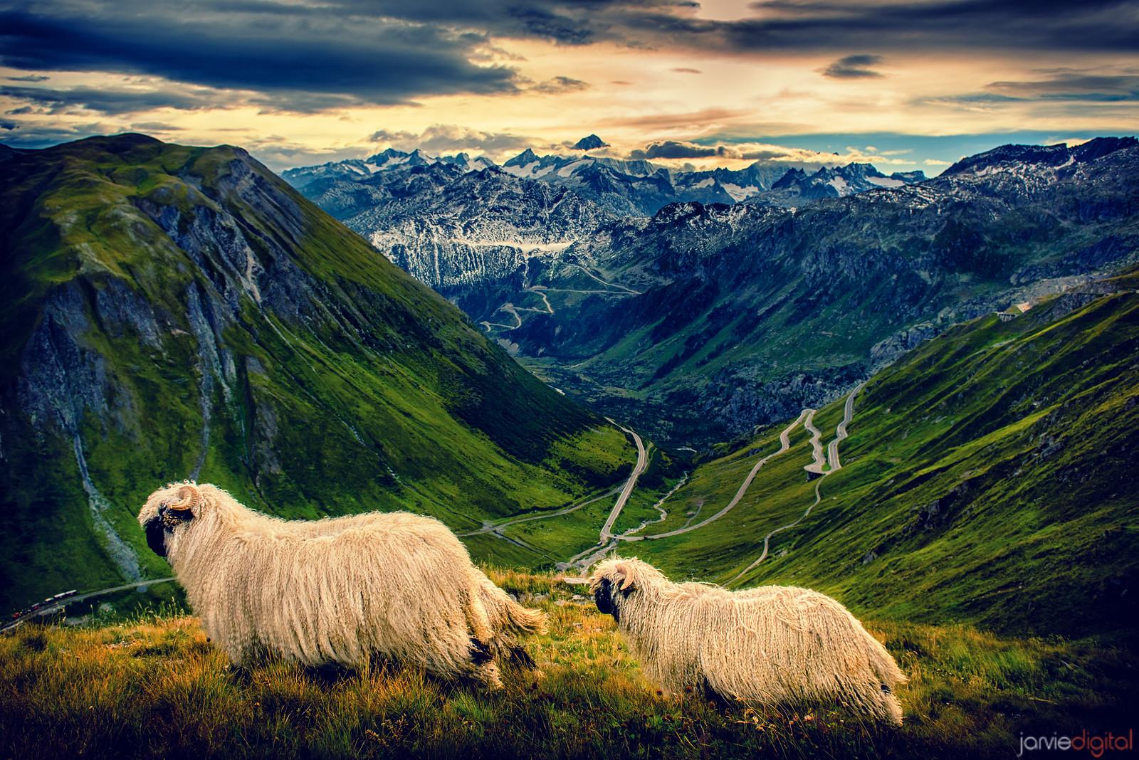 Sheep - Swiss Alps
