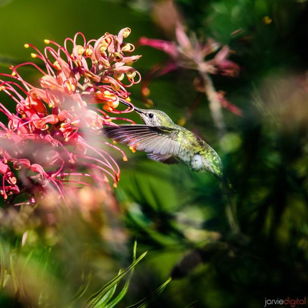 Hummingbird - Santa Cruz