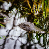 Alligator - Everglades National Park