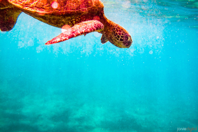 Turtle - Hawaii