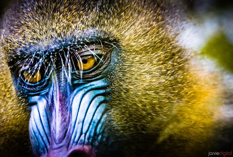Primate - Spanish Zoo