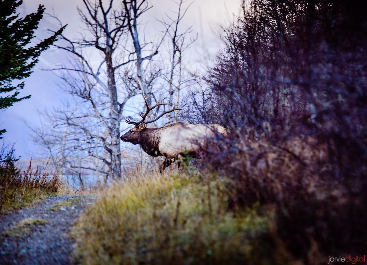 Elk - Glacier National Park